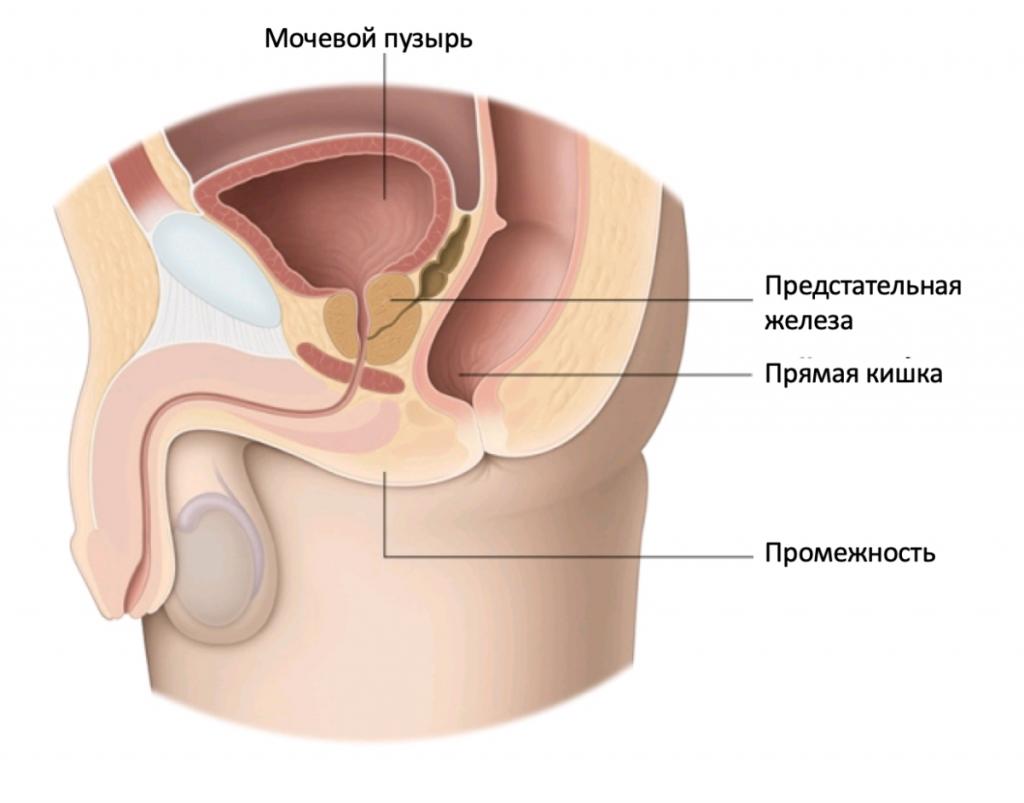 Анатомия предстательной железы